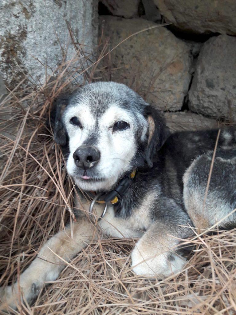 Perro blanco y negro cara